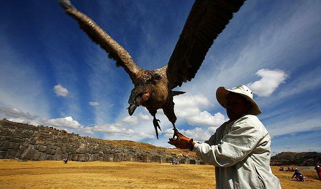 11. Dünyanın en büyük kuşu, Peru'nun And Dağlarında bulunan And kondorudur.