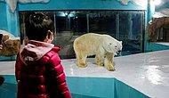 Новый отель в Китае, где можно наблюдать за белыми медведями 24 часа в сутки, вызвал критику защитников животных