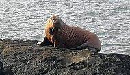 İçim Geçmiş: Eriyen Buzdağı Üzerinde Uyuyakalan Kutup Hayvanı, Kendini İrlanda'da Buldu