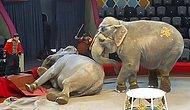 В казанском цирке две слонихи подрались во время представления