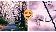 Здравствуй, весна 2021!: Японский фотограф запечатлел цветение сакуры в стране восходящего солнца, и это настоящее волшебство