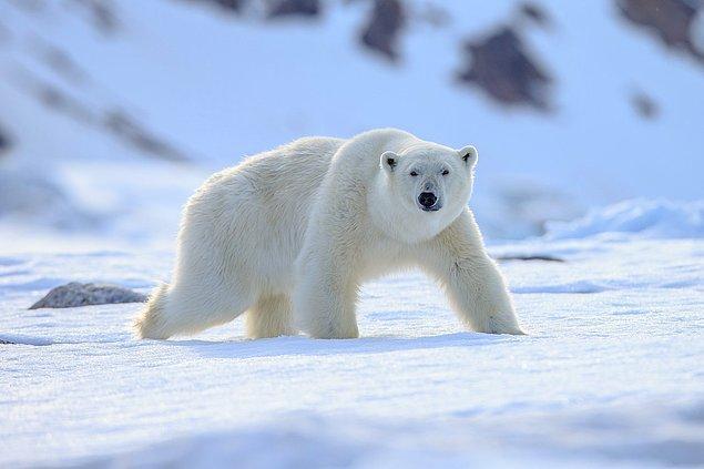 """4. """"İsveç'te kutup ayıları yok."""""""