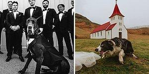 Это вам не котики: 15 очаровательных свадебных фото с участием собак