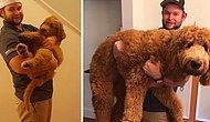 Из милых щеночков в настоящих здоровяков: 15 фотографий собак до и после того, как они выросли