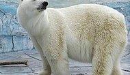 В российском зоопарке белый медведь умер после того, как проглотил резиновый мяч, брошенный в его вольер посетителем