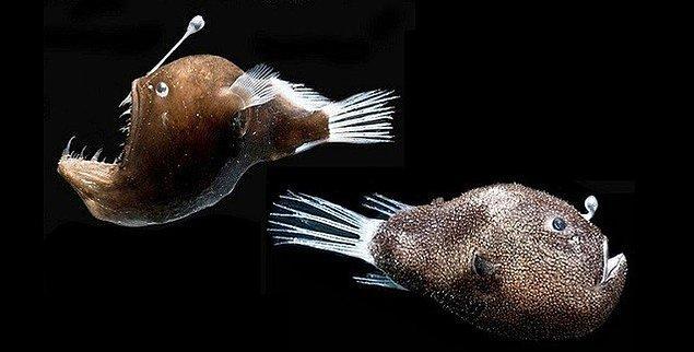 6. Fener balığı