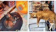 15 нахальных сверх меры котов, которые где угодно чувствуют себя хозяинами жизни