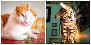 12 котов под кайфом, которые явно перебрали с валерианой