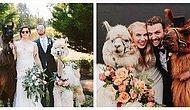 А знали ли вы, что теперь на свадебное торжество можно арендовать настоящую ламу? (15 фото)