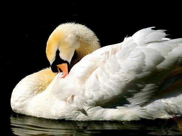 16. Kuğular eşcinsel olabilir.
