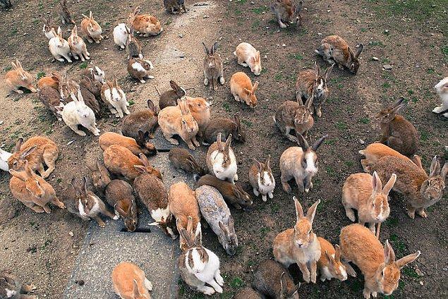 13. Japonya'da yüzlerce tavşanın yaşadığı bir ada bulunuyor.