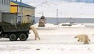 Белый медведь преследует военный грузовик, наполненный пищевыми отходами с российской военной базы (видео)