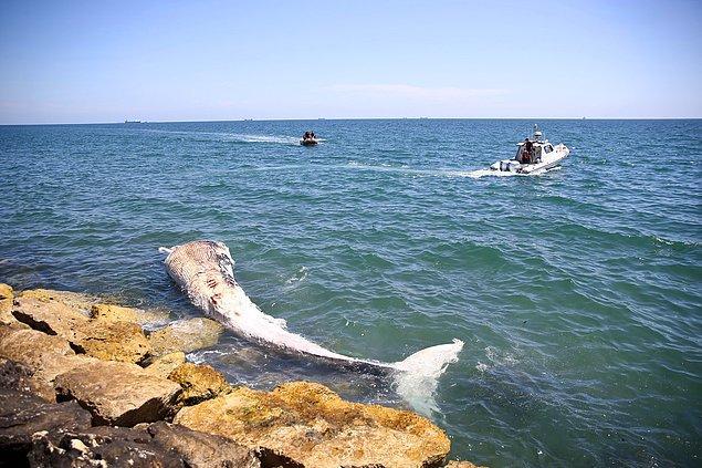 Mavi balinadan sonra dünyadaki en büyük ikinci balina türü