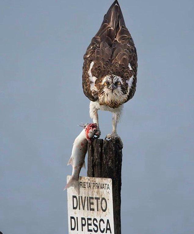 3. 'Balık tutmak yasaktır' yazılı uyarı levhasının üstünde durup kuralları çiğneyen asi bir balık kartalı: