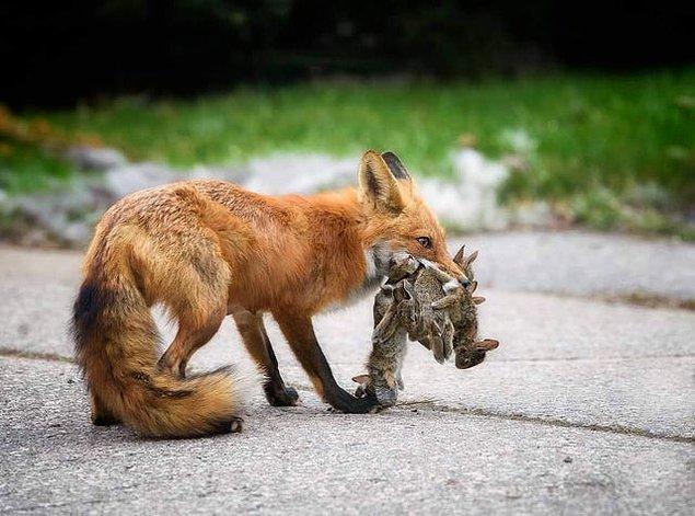 9. Yuvasına yemek götüren bir tilki: