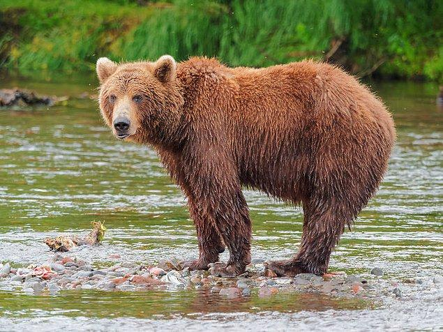 7. Güney Afrika'da ayılarla güreşmek yasak.