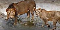 В индийском зоопарке львица умерла от коронавируса, еще у 9 животных тест выдал положительный результат