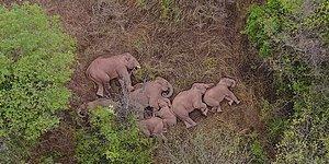 Слоны, сбежавшие из заповедника, были замечены отдыхающими, после того, как преодолели 500 километров по Китаю