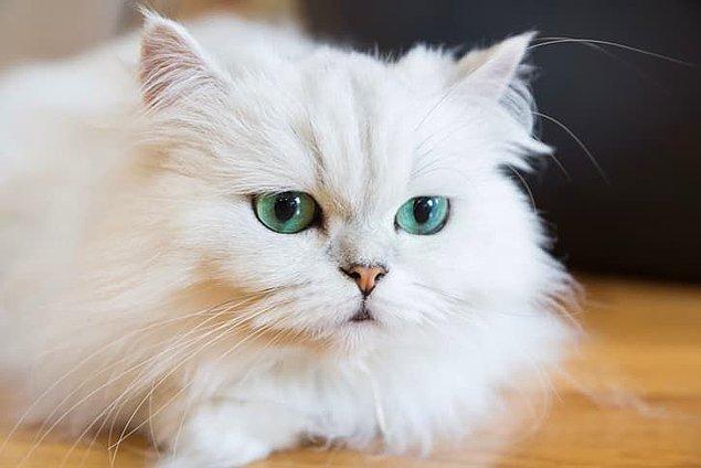 İran kedileri de bizim estetik kaygılarımızın kurbanlarından.