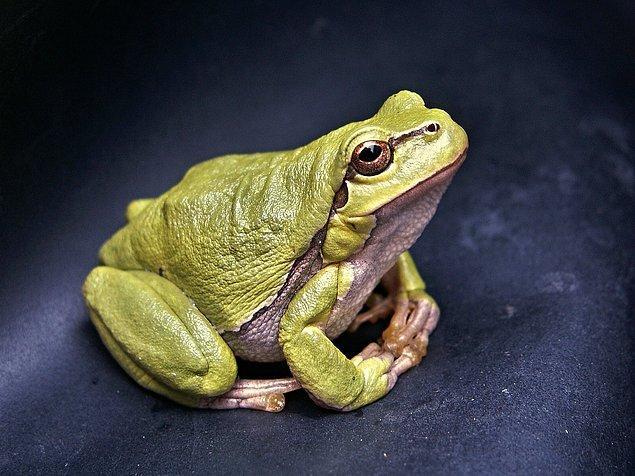 4. Kurbağalar