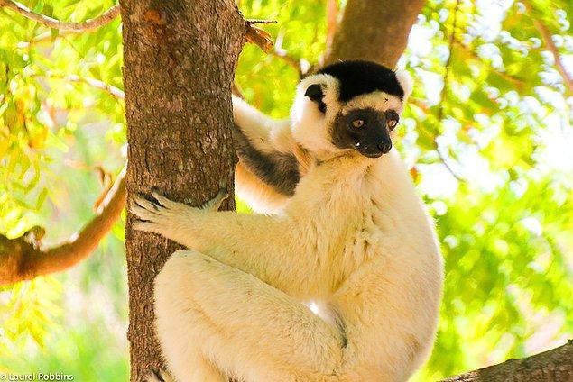 7. Eskiden Madagaskar'da devasa lemurlar yaşıyordu.
