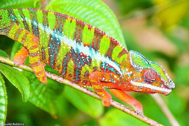 23. Dünyadaki bukalemunların yarısından fazlası Madagaskar'da bulunabilir.