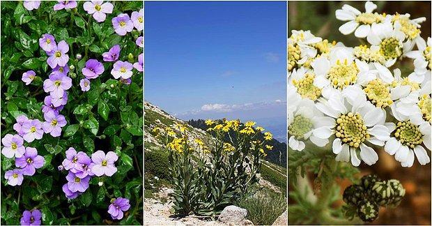 Endemik Türler Açısından Zengin Olan Bölgemiz Uludağ'da Yetişen 10 Bitki