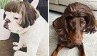 20 самых милых и забавных фото собачек с париками, которые поднимут вам настроение на весь день