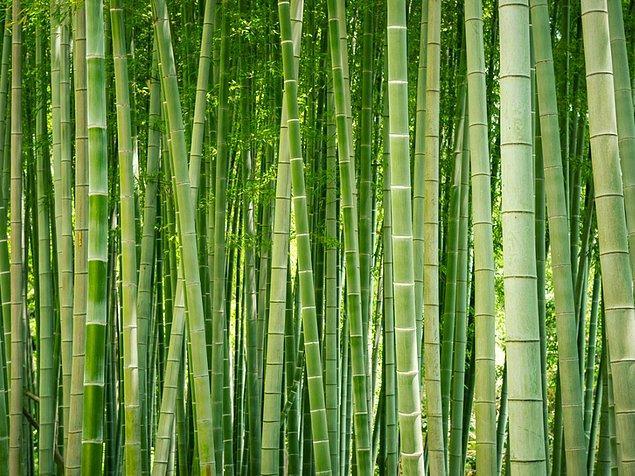 13. Dünyanın en hızlı büyüyen bitkisi bambu 1 günde 90 cm kadar büyüyebiliyor.