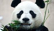 Китайские чиновники заявили, что большие панды отныне не находятся под угрозой исчезновения