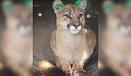 Домашняя кошка обнаружила 30-килограммовую пуму, прячущуюся на веранде дома в Колорадо