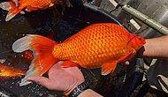 Эксперты предупреждают, что золотые рыбки, выпущенные в озеро, вырастают до огромных размеров и становятся опасными