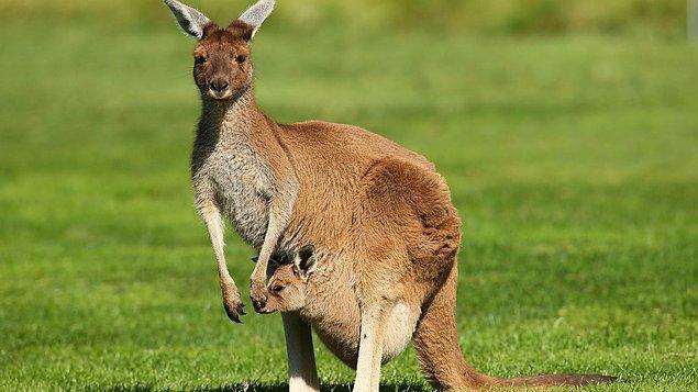 """2. """"Kangurular ve emular geriye doğru yürüyemezler. Bu yüzden bu iki hayvan Avustralya'nın ulusal mühründelerdir."""""""
