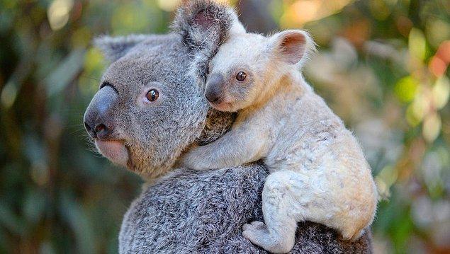 """12. """"Çoğu koalada klamidya var."""""""