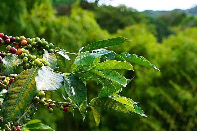 5. Kahve tarımı nüfus artışı ve talep artışı yüzünden bilinçsiz yapılmaya başlandı ve böyle giderse 50 yıl sonra kahve tükenecek.