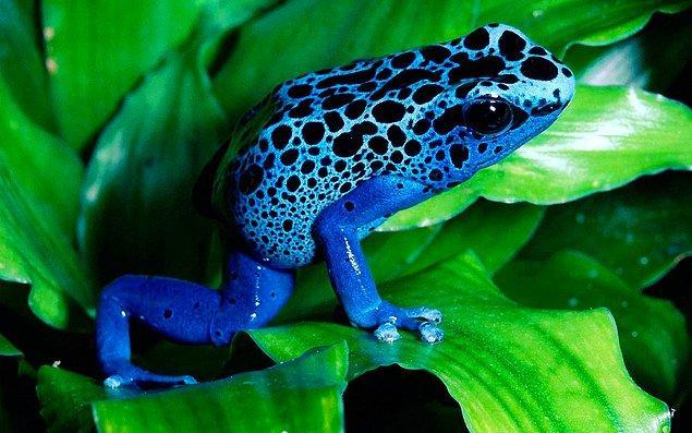 Mavi renkli bir canlı görmek, onu fotoğraflamayı gerektiriyor. Çünkü nadirler.