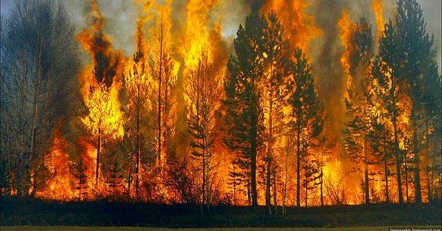 Kızılçam ve okaliptüs başta olmak üzere birçok türün devamlılığı yangına muhtaç.