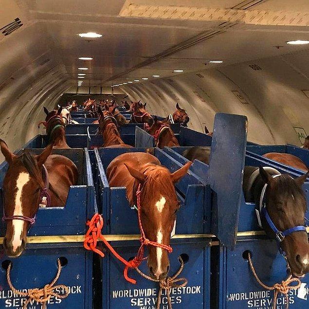 18. Atlar uçakta böyle taşınıyormuş.