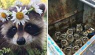 15 фотографий самых милых и глупеньких енотов, которые сделают ваш день лучше