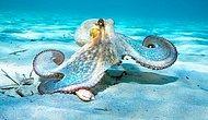 Dişi Ahtapotların Kendilerini Rahatsız Eden Erkeklere Deniz Kabuğu ve Kum Fırlattığı Keşfedildi