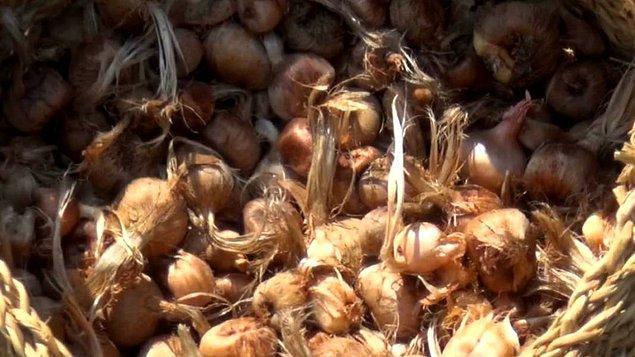 """""""Bu 3 dönüm yerden önümüzdeki yıl 15 dönüme kadar safran soğanı elde edebileceğiz. Bu yıl yaklaşık 2-3 kilogram arasında safran üretimi bekliyoruz. Bugünkü değeri şu an için kilosu 50 bin TL civarında."""""""