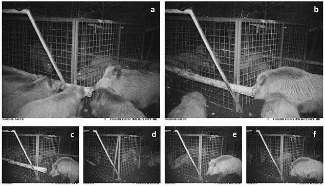 Dişi domuz, kapana kısılmış yavruları kurtarmak için kafesin tahta kütüklerle kapanan kapılarına, yani stratejik noktalara hücum etti.