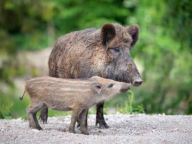 """Bilim insanları bunun, """"karmaşık bir empati biçimi"""" diye nitelenen kurtarma davranışının belgelendiği ilk yaban domuzu vakası olduğuna inanıyor."""