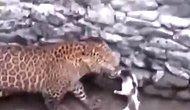 Keyfini Bozan Leopara Meydan Okuyan Koca Yürekli Kedi