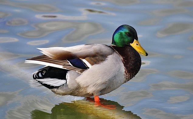 2. Anatidaefobi, bir ördeğin sizi izlediği korkusudur.