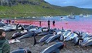 Крупнейшая в истории резня дельфинов на Фарерских островах: рыбаки убили 1428 животных в дань традициям