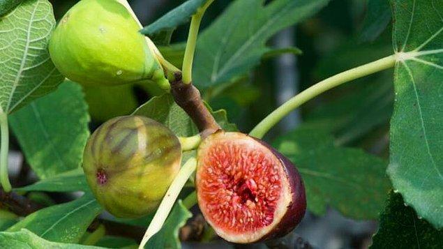 Yani incirin içindeki çıtırlar bir arının parçaları değil, sadece tohumdur. Ama yine de incir yediğiniz sırada bir arının parçalarını da yiyor olabilirsiniz.