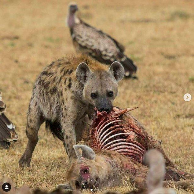 3. Önce akbabalar sonrasında da kendi türü tarafından yenen bir sırtlan:
