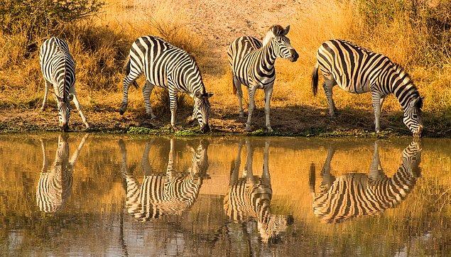 7. California'nın San Simeon kasabasında başıboş gezen vahşi zebra sürüsü görebilirsiniz.