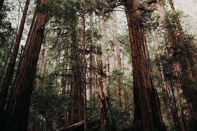 25. Muir Woods Ulusal Anıtı, Kaliforniya